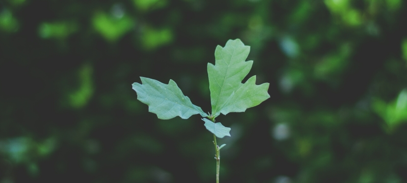 Baby Oak: A MicroStory