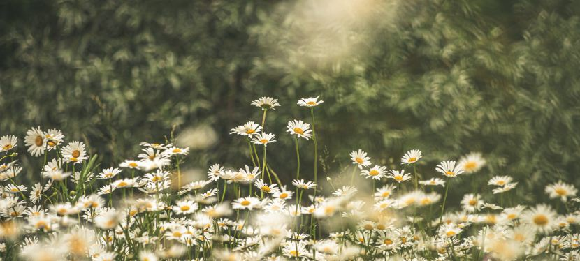 Daisies: A MicroStory