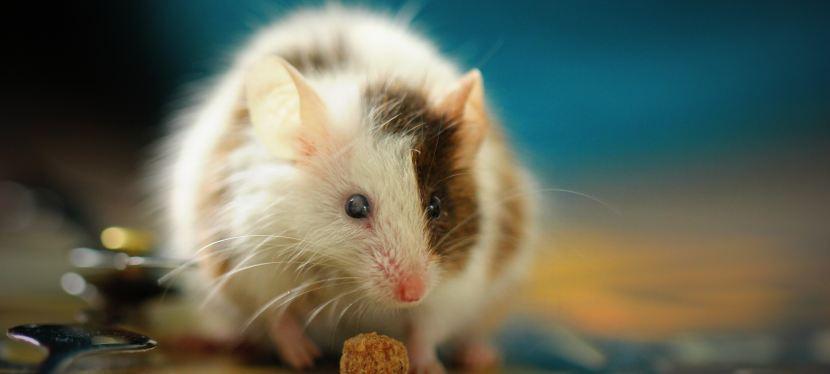 Batting Mice Around: A MicroStory